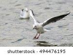 gull  larus ridibundus...   Shutterstock . vector #494476195