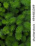 Small photo of Needles of the Spanish Fir , Nadeln der Spanische Tanne (Abies pinsapo)