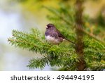 Small photo of The dark-eyed junco is a species of the juncos, a genus of small grayish American sparrows. This bird is common across much of temperate North America and in summer ranges far into the Arctic.