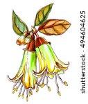golden correa dusky bells plant.... | Shutterstock . vector #494604625