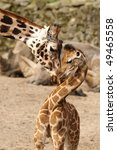 Stock photo mother giraffe cuddling with its baby 49465558