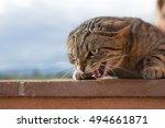 Stock photo aggressive cat 494661871