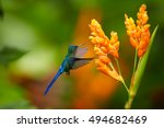 Small photo of Long tailed hummingbird, Violet-tailed Sylph, Aglaiocercus coelestis, hovering next to orange flower against blurred flowers in background. Rainforest in Montezuma area, Colombia.