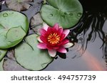 A Pink Water Lily Surrounded B...