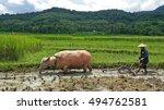 water buffalo and farmer break... | Shutterstock . vector #494762581