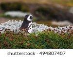 magellanic penguin  spheniscus... | Shutterstock . vector #494807407