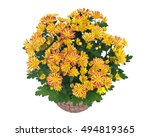 Fall Mums Flowers In Clay Pot...