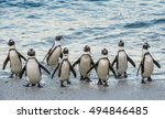 African Penguins Walk Out Of...