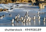 african penguins walk out of... | Shutterstock . vector #494908189