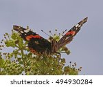 Red Admiral On Ivy Blossoms