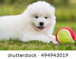 Samoyed Puppy In A Meadow