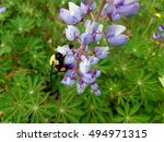 Bubble Bee On Purple Lupine...