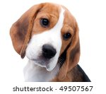Stock photo cute dog beagle puppy looking curiously 49507567