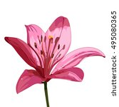 Pink Lily. Vector Isolated Image