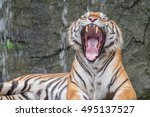 Bengal Tiger In Forest Yawning