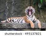 Bengal Tiger Yawning In Forest...