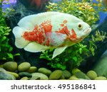 Oscar Fish Striped White And...