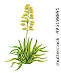 realistic illustration of agave ...   Shutterstock . vector #495198895