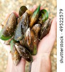 Hands holding fresh New Zealand green-lipped mussels, shallow focus - stock photo