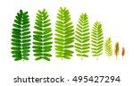 tamarind leaves on white...   Shutterstock . vector #495427294