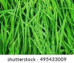 water drops on fresh green... | Shutterstock . vector #495433009