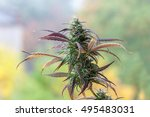 branch of cannabis plant with... | Shutterstock . vector #495483031
