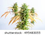 branch of cannabis plant with... | Shutterstock . vector #495483055
