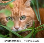 Stock photo red cat sneaking through the grass 495483631