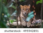 ceylon leopard lying on a... | Shutterstock . vector #495542851