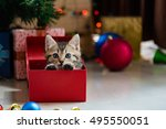 Stock photo close up of cute brown tabby persian kitten play and looking for gift in christmas day 495550051