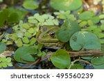 closeup green frog on the... | Shutterstock . vector #495560239