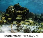 Small photo of French grunts swimming behind a coral head