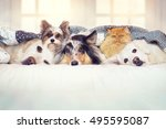Stock photo many dogs and a cat lie together in bed 495595087
