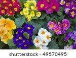 primroses | Shutterstock . vector #49570495