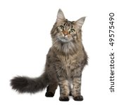 Stock photo maine coon year old standing in front of white background 49575490