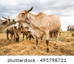 brown cow eating grass straw.... | Shutterstock . vector #495798721