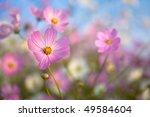 flowering cosmos | Shutterstock . vector #49584604