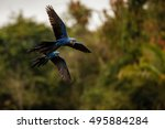 Hyacinth Macaws Fly In The...