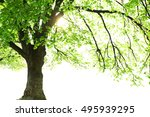 tall tree isolated on white... | Shutterstock . vector #495939295