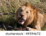 Male Lion Eating On Prey Animal