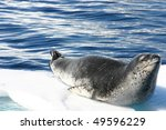 Dangerous Leopard Seal On Ice...