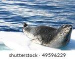 Dangerous Leopard Seal On Ice...