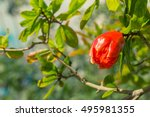 Punica Granatum  Pomegranate...