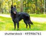 beautiful fun groenendael dog... | Shutterstock . vector #495986761