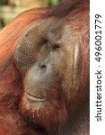 Small photo of Adult male Orangutan
