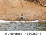 Small photo of African green monkey