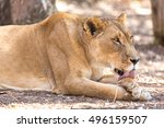 A Young Lioness Licking Her Pa...