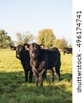 Small photo of A pair of fine Pedigree Aberdeen Angus calves on pasture within the Somerset Levels.