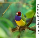 Small photo of Amadina finch or gouldian finch or erythrura gouldiae bird on a branch on green background