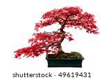 Red Leafed Bonsai Tree Isolate...